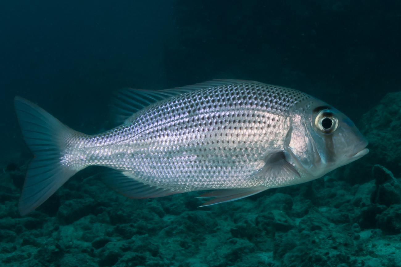 Gymnocranius superciliosus, Northern GBR, QLD,  Photo: Rick Stuart-Smith