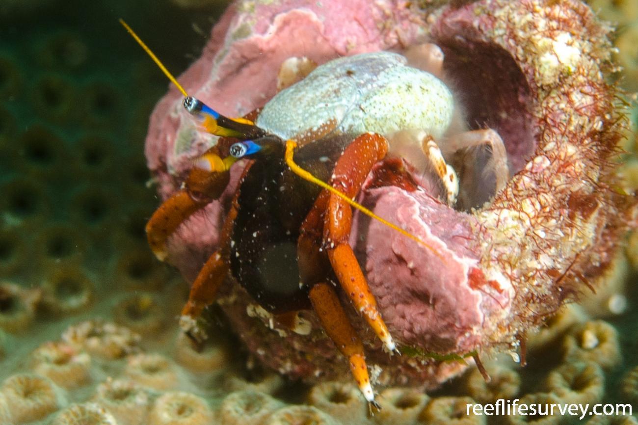 Calcinus morgani, NSW, Australia,  Photo: Ian Shaw