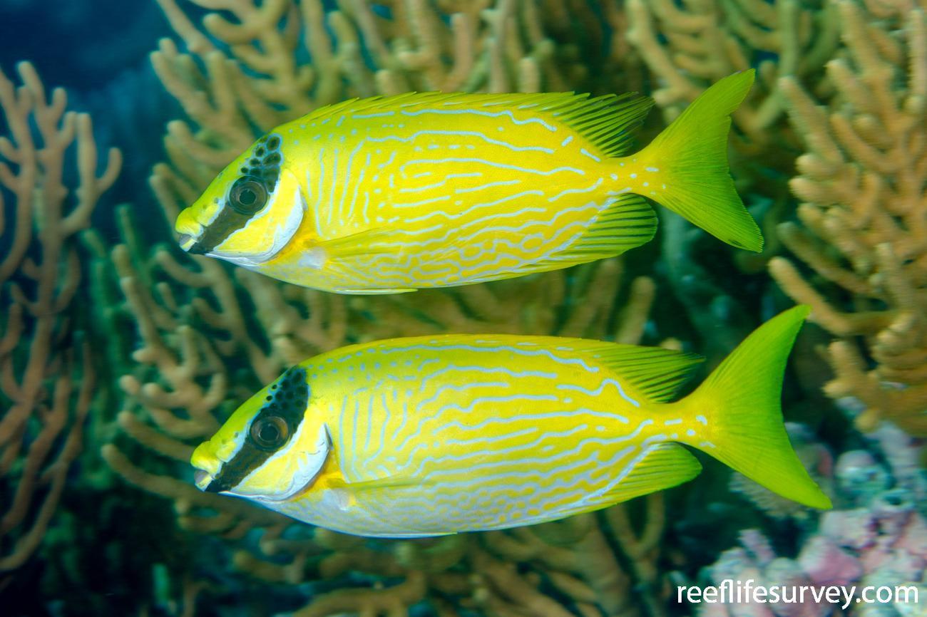 Siganus puellus, Adult, Ashmore Reef, WA,  Photo: Ian Shaw