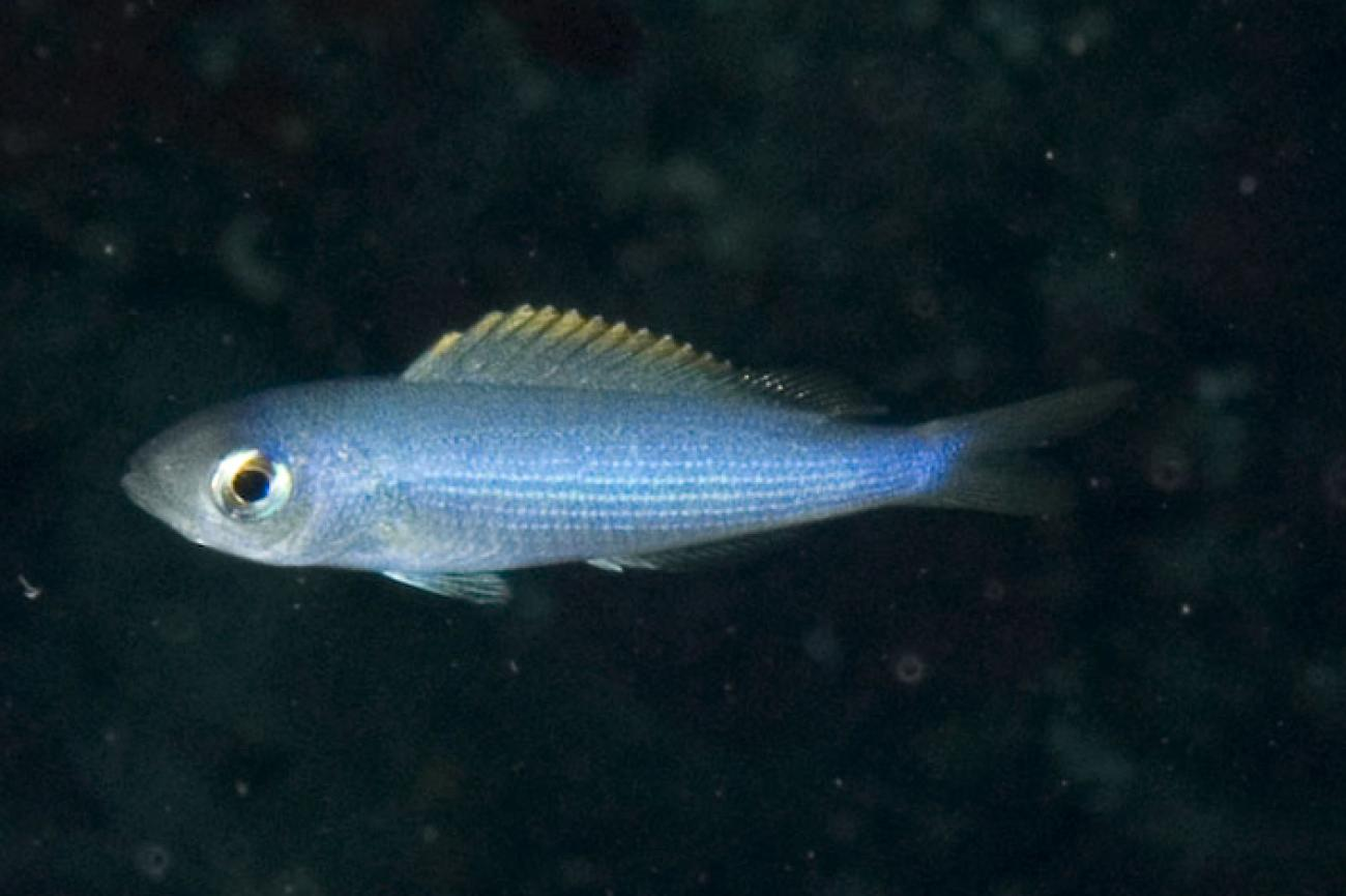 Teixeirichthys jordani, Little Slope, Lord Howe Is, NSW,  Photo: Andrew Green