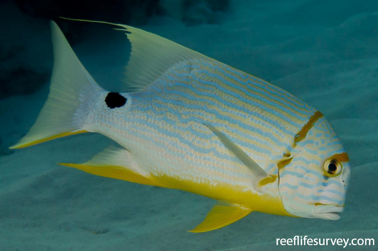Symphorichthys spilurus, North WA, Australia,  Photo: Rick Stuart-Smith