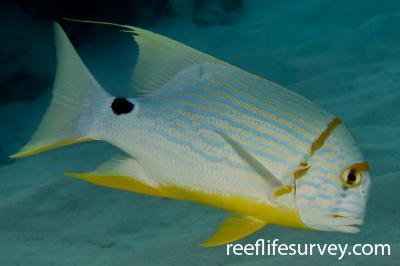 Symphorichthys spilurus: North WA, Australia,  Photo: Rick Stuart-Smith