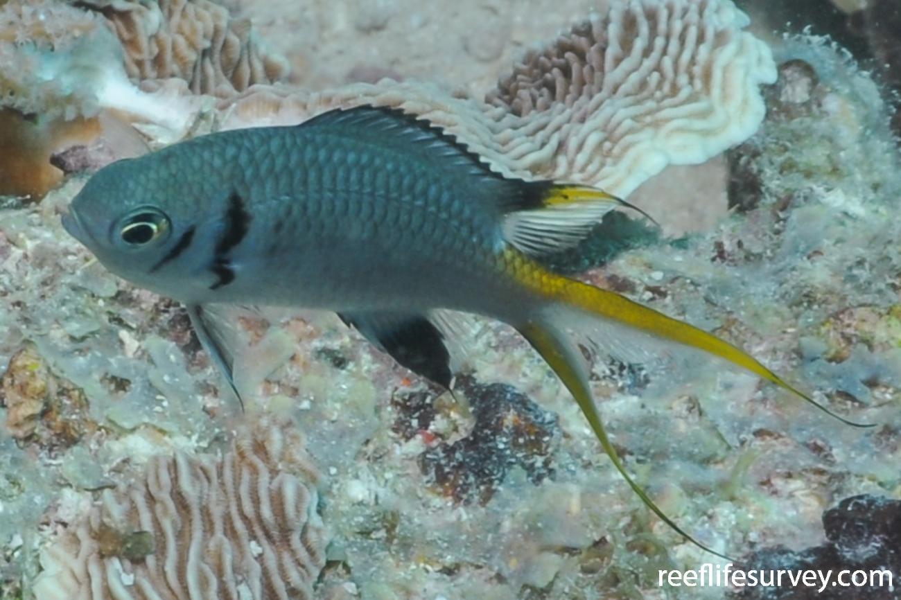 Chromis opercularis, Juvenile, Tanzania,  Photo: Rick Stuart-Smith
