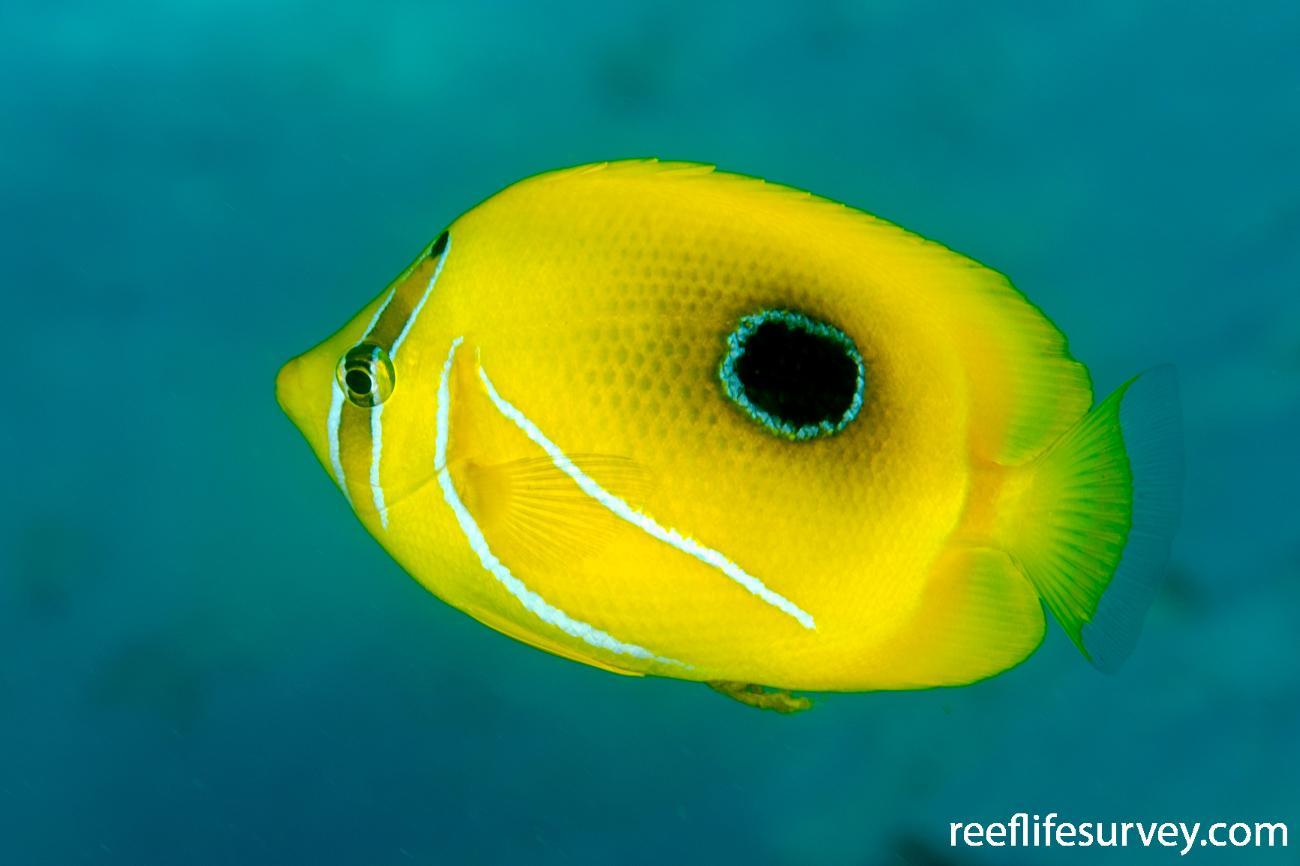 Chaetodon bennetti, Adult, Scott Reef, Australia,  Photo: Ian Shaw