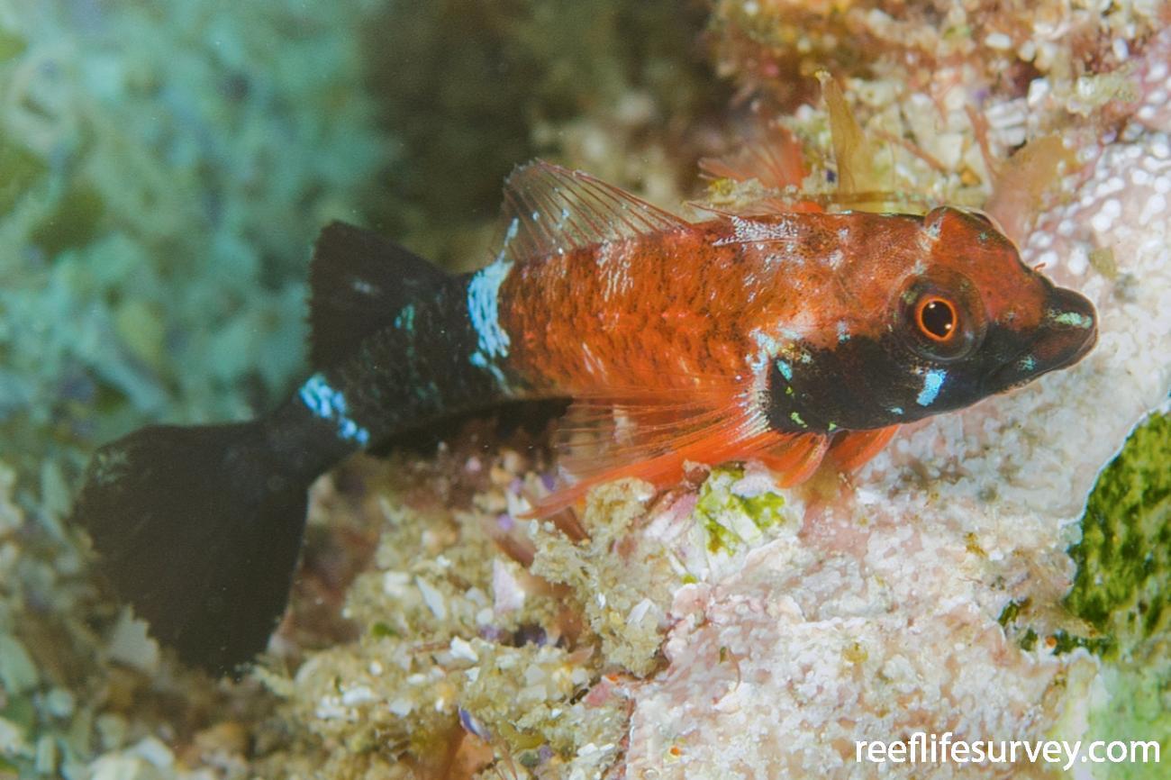 Enneapterygius similis, Male, NSW, Australia,  Photo: Ian Shaw