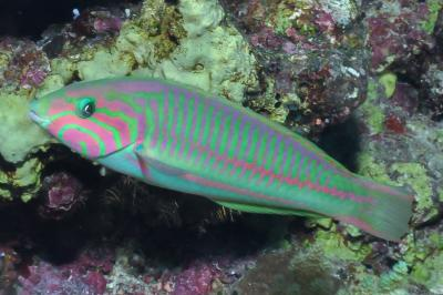 Thalassoma rueppellii: Adult, Red Sea,  Photo: Rick Stuart-Smith