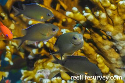 Chromis flavaxilla: Marsa Alam,  Photo: Rick Stuart-Smith